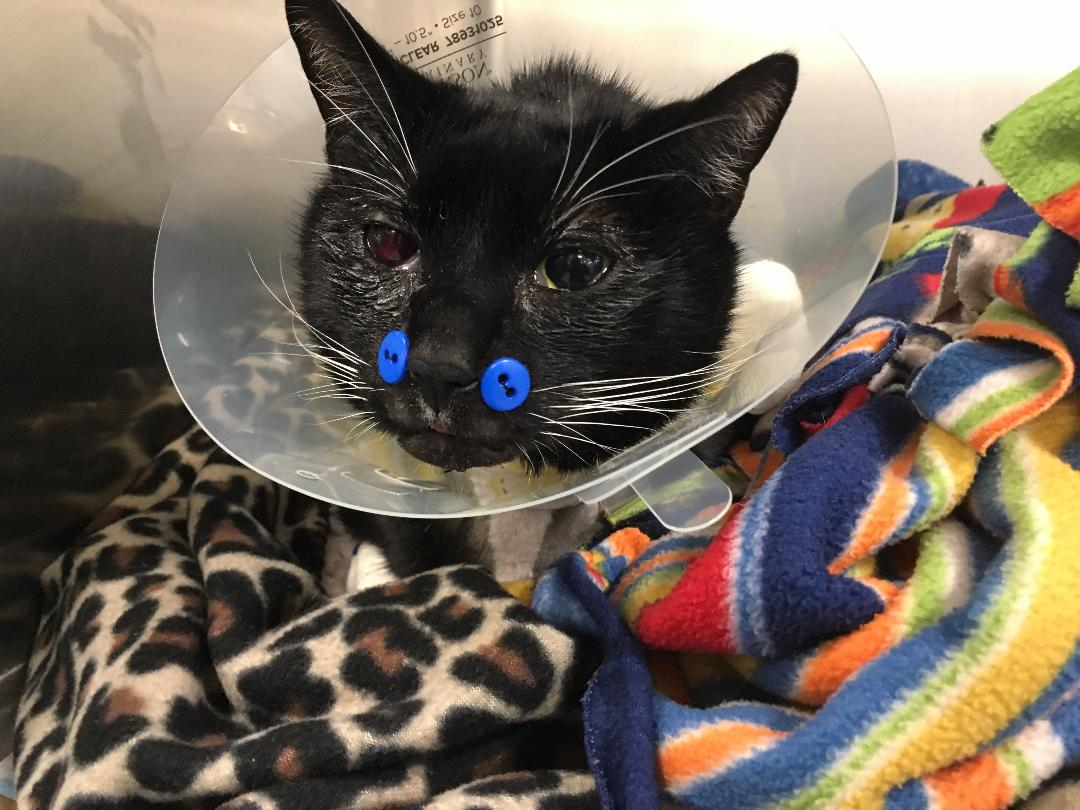 Photo of a cat wrapped in blankets wearing a surgical cone and stitches